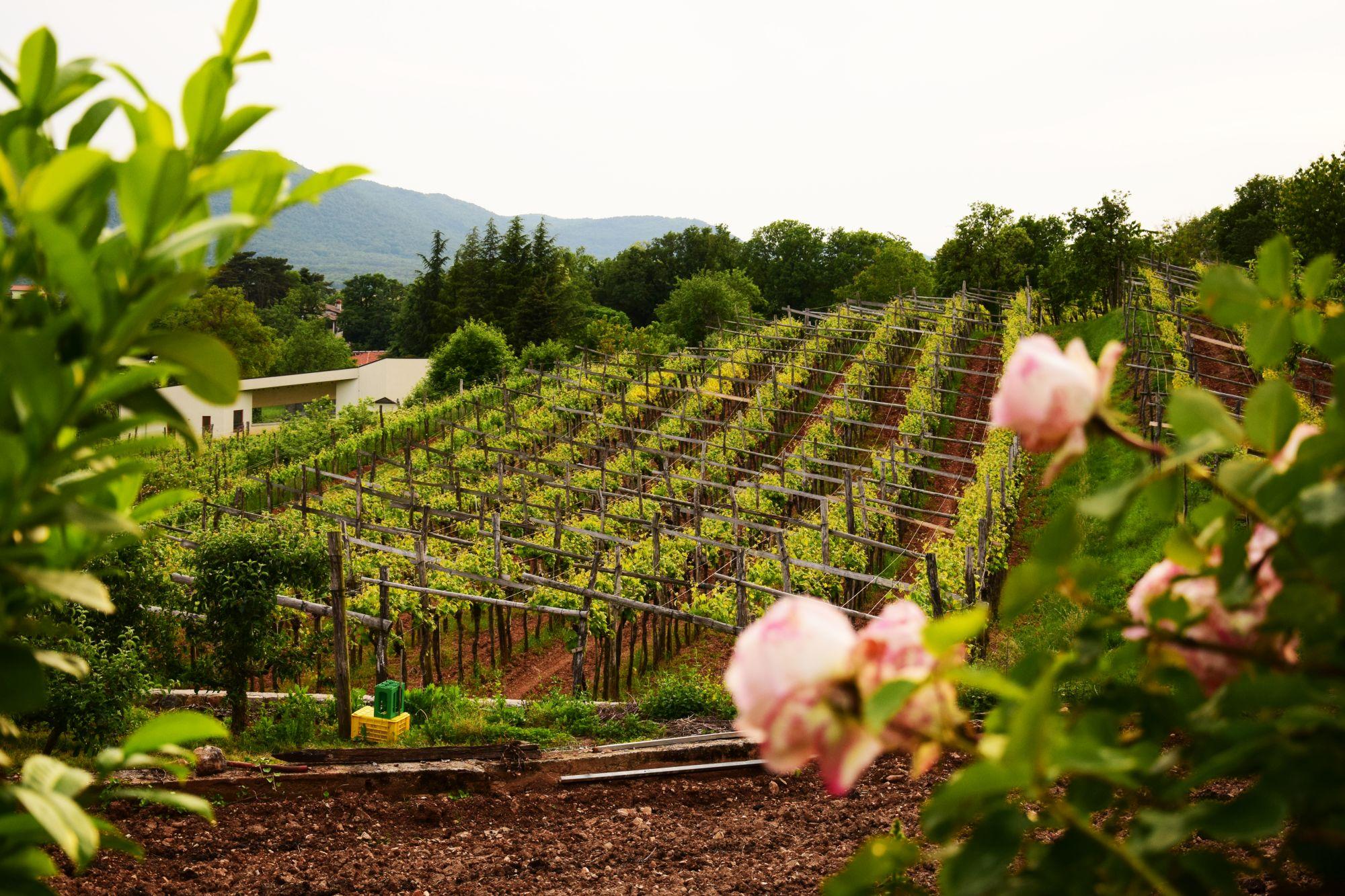 Karst vineyard