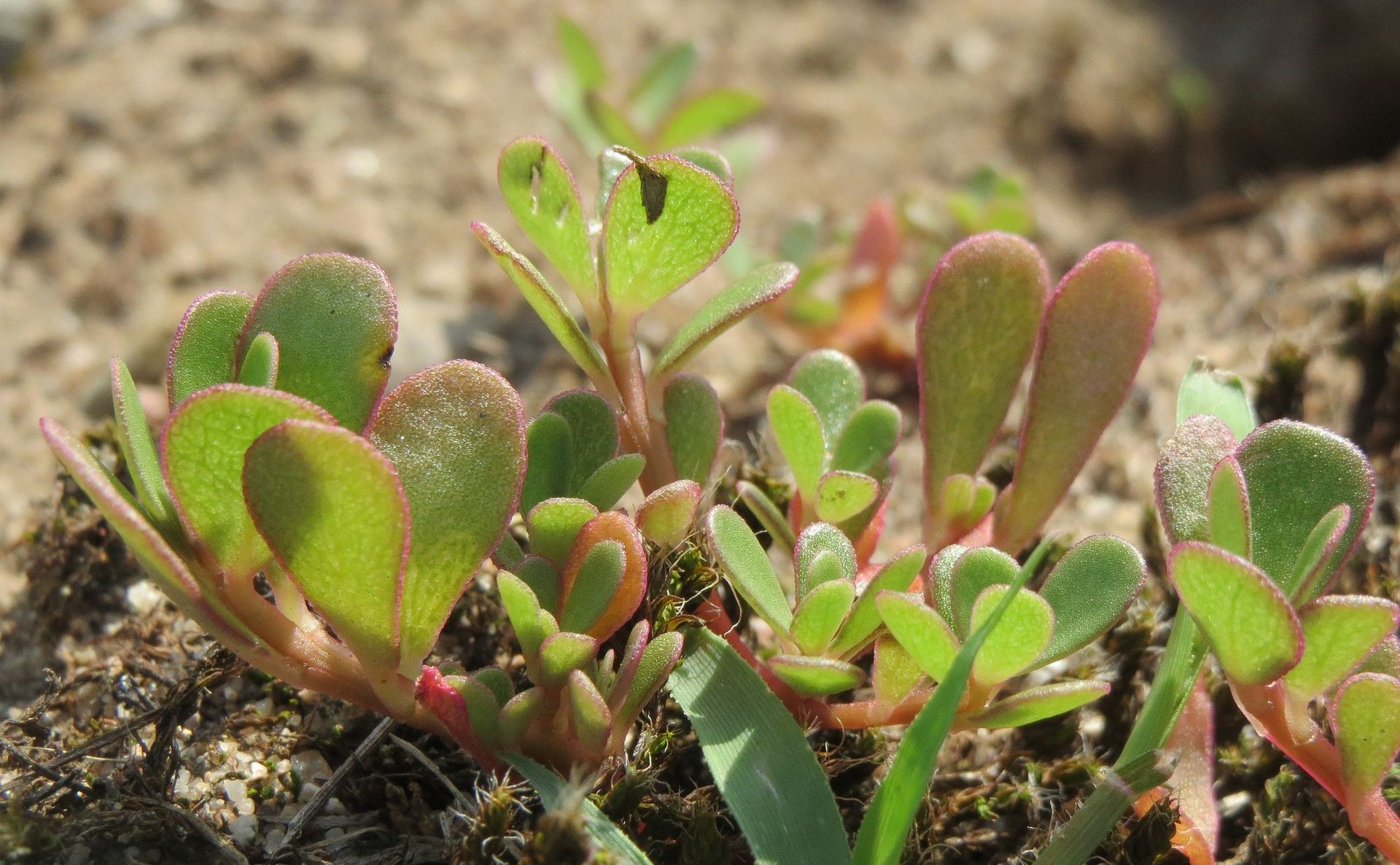 Common purslane, one of the world's most beneficial edible succulents