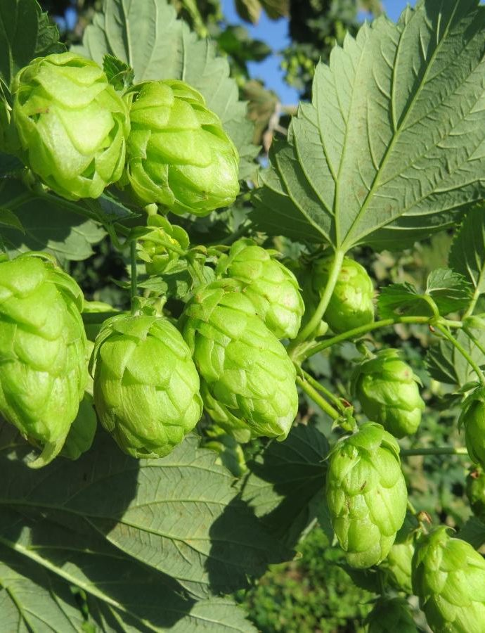 57th Congress of the International Hop Growers' Convention