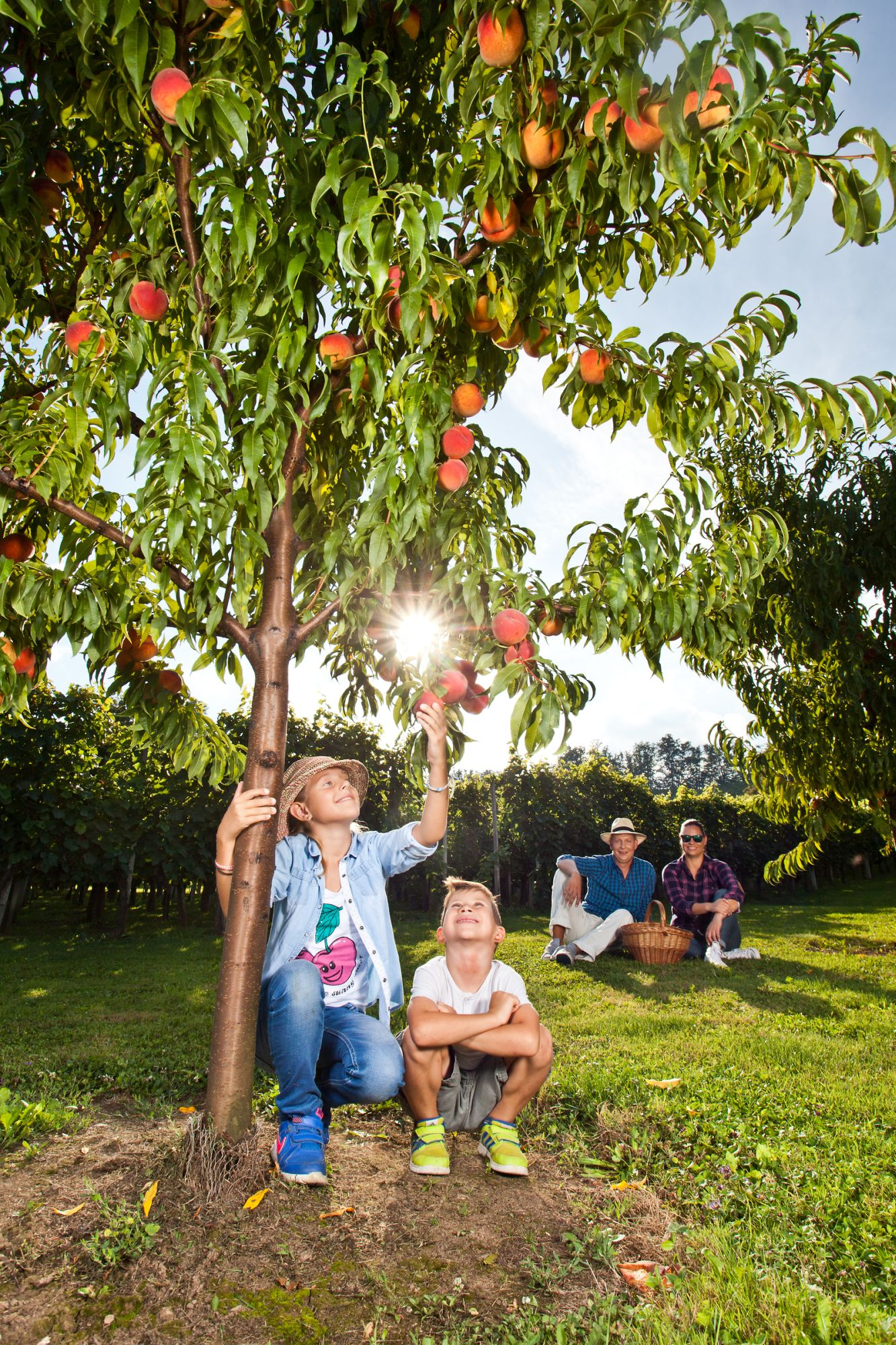 A family collects peaches in the Slovenian countryside