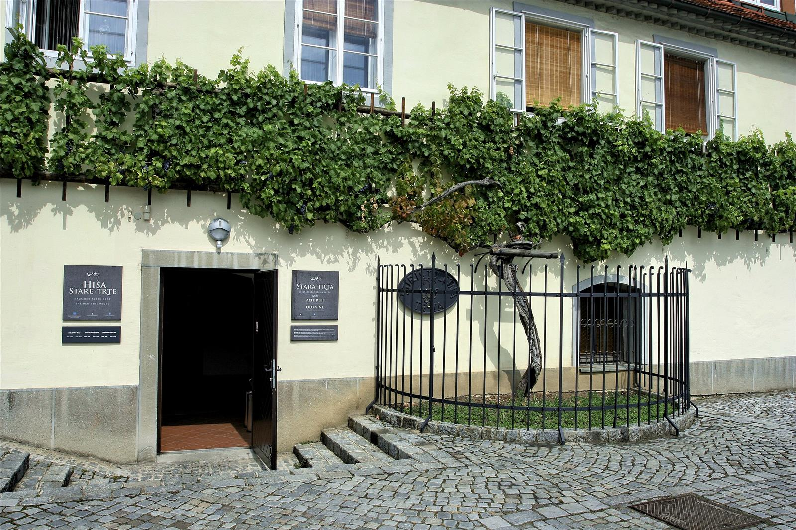 Maribor's Old Vine House and oldest vine in the world