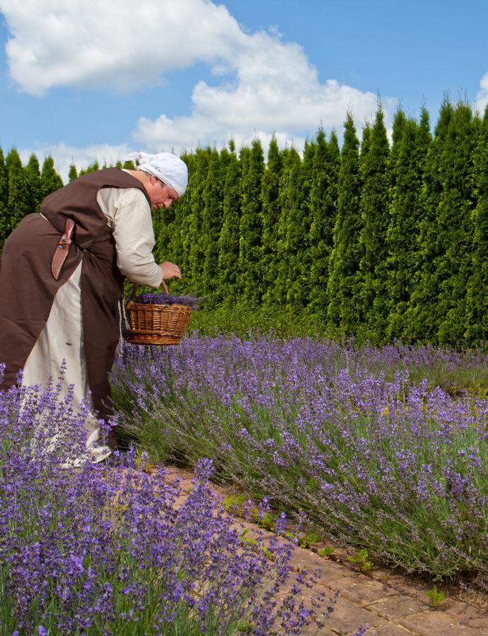 Lavender Festival in the Karst – Western Slovenia